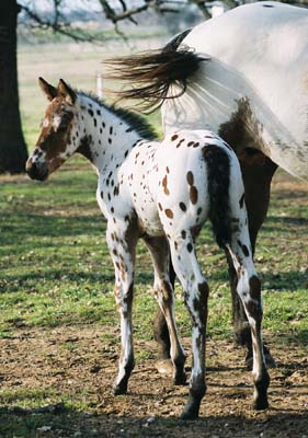 2003 Bay Colt, Enlightened (AQHA) x Cartoon Series (by Designer Series, born Feb 21, 2003, pictured March 9, 2003.