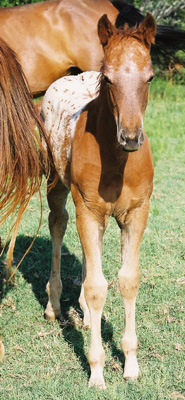 2003 ApHC Filly, Charicature x Own daughter of Rock Star, pictured June 2003.