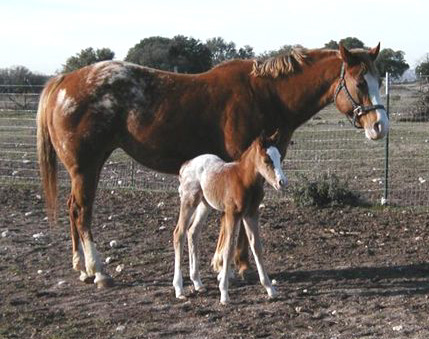 Invitational filly, pictured at a hours old, February 2004