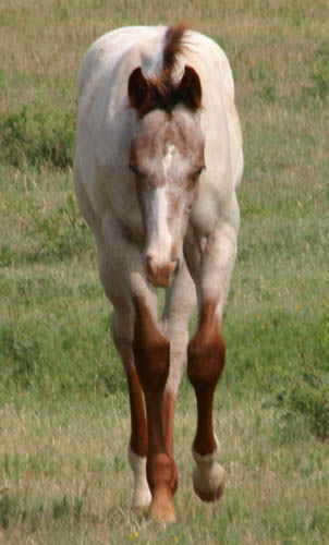 February Charicature gelding, pictured mid-June 2005