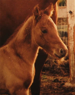 April 2, 2005 Charicature colt, pictured at 3 days old