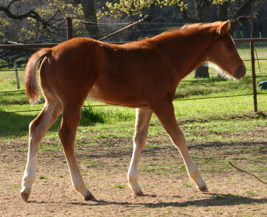 January 27,2005 Invitational colt, pictured mid-March 2005