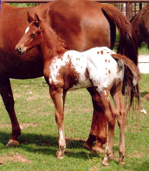 March 2006 Colt by Charicature, pictured April 2, 2006.