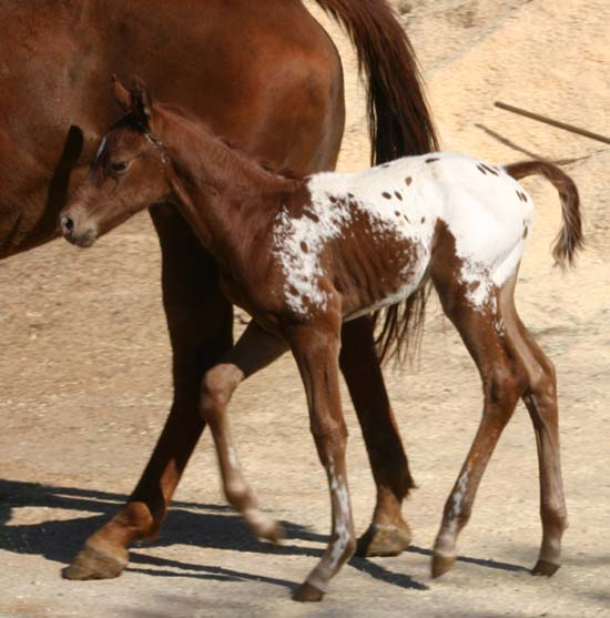 March 2006 Colt by Charicature, pictured March 25, 2006.